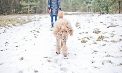 Dog royal standard poodle apricot color on a winter walk in nature.