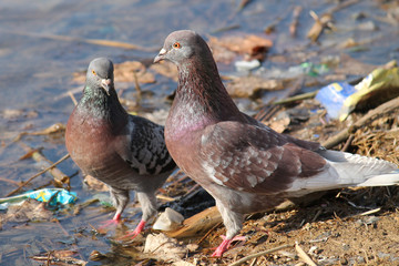 Two adult brown pigeons (Columba livia) near the water