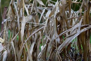 Dried corn weed