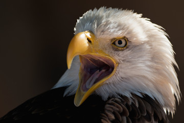 American eagle with open beak, portrait white-tailed eagle