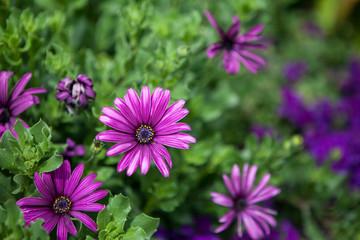 osteospermum nairobi purple