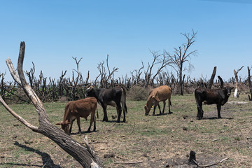 herd of cattle on a pasture on the shore of Lake Ngami southern of the Okawango Delta in Botswana