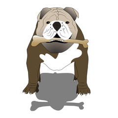 English bulldog with a bone and shadow- isolated vector illustration