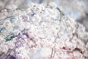 Spring Sakura Blossoms in Japan