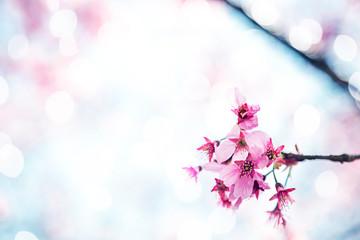 Fototapeta Beautiful sakura growing in a branch during spring.
