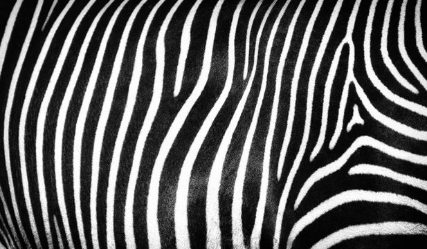 Black and white abstract striped texture of wild zebra skin