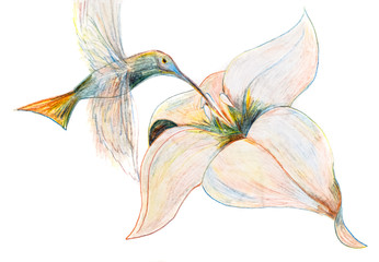 Drawing a pencil like a hummingbird hovers over a flower and drinks nectar.