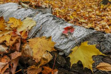autumn leaves on fallen birch tree