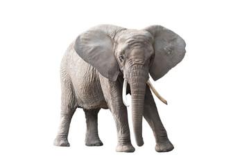 Tuinposter Olifant African elephant isolated on white background