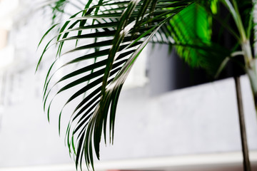 Tropical palm leaves, greenery against white wall. Creative layout, toned image filter, minimalism