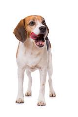 Licking beagle dog standing isolated on white background
