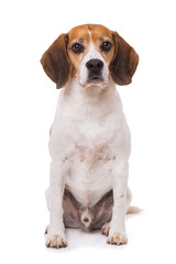 Adult beagle dog sitting isolated on white background and looking to the camera