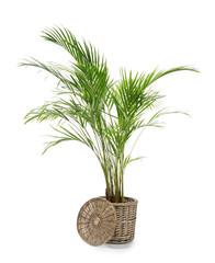 Decorative Areca palm on white background