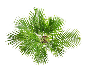 Decorative Areca palm on white background, top view
