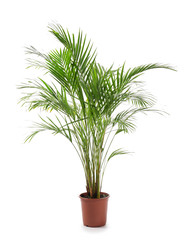 Wall Mural - Decorative Areca palm on white background