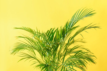 Decorative Areca palm on color background