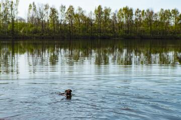 Hund schwimmt im Wasser