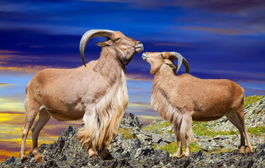 Standing couple of barbary sheeps