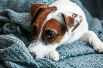 Cute Jack Russell terrier on sofa at home