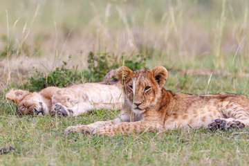 Tired lion cubs on savannah