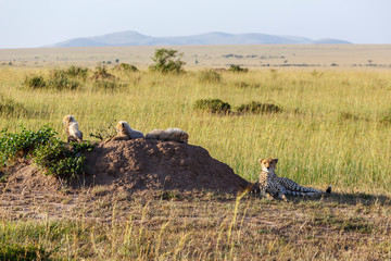 Cheetah cubs resting on a termite mound in the savannah