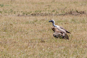 Tawny eagle and a white backed vulture Vulture sitting on the savannah in africa