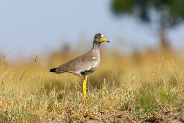 African Wattled lapwing in african wilderness