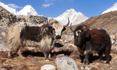 two yaks, Nepal Himalayas mountains