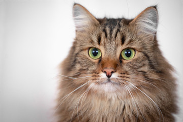 Portrait of a beautiful, striped cat on a light background.