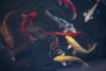 Feeding Many Japanese koi fishes in pond.