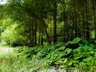 bosco, foglie di zucca, paesaggio di foresta