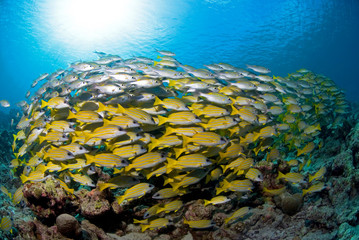 Shoal of Blue Striped Snappers in blue water with sun in the background