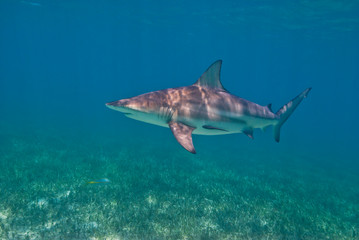 Blacktip shark close to the surface in a lagoon with seaweed