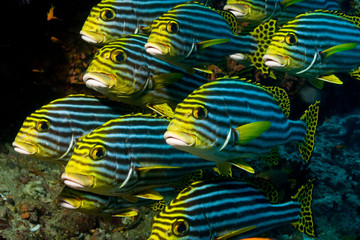 Group of Oriental Sweetlips close together in the reef