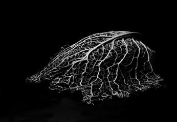 Obraz Liść kapusty - fototapety do salonu