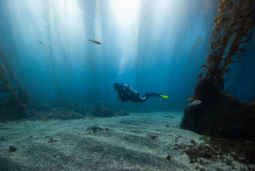 Scuba Diver in a glade of a kelp forest with sun in the background