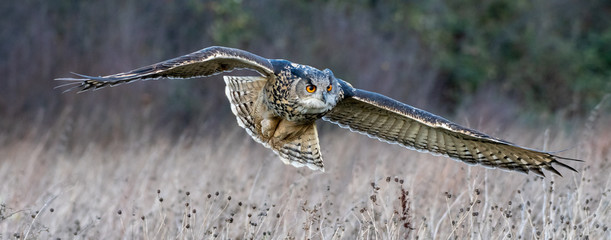Eurasian eagle owl (Bubo bubo) flying over a field in Gloucestershire (trained bird)