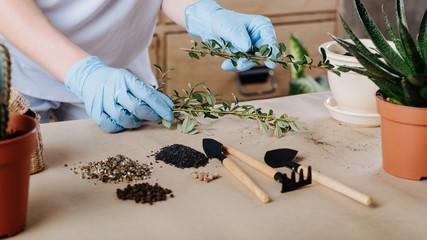 gardener in gloves planting green plants in pots. gardening hobby.