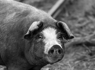 black pig with white spots looks in camera, bw