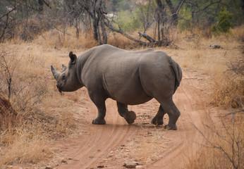 rhino crossing dirt road in South African game preserve