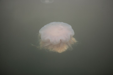 Jellyfish floating in the sea.