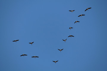 Flock of flying wild Greater white-fronted geese (Anser albifrons) against blue sky