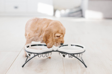 English cocker spaniel puppy eating dog food