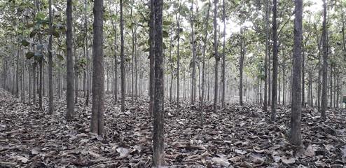 Teak Forest 02