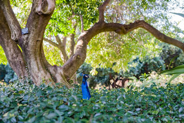 Cute peacock siting in a bush forest