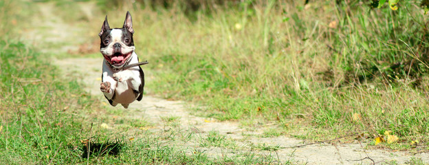 Boston Terrier happily runs in a jump along a forest path in the summer, in sunny weather. banner