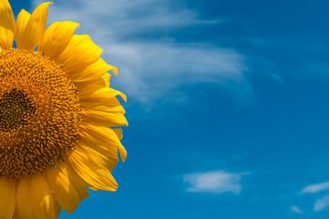 sunflower summer flower close-up.