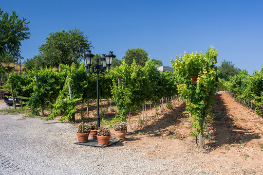 Vineyard Plantations in Mallorca