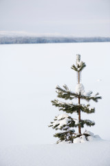 Solitary young Scots pine (Pinus sylvestris) in snow.