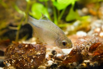 Rhodeus amarus, European bitterling, young male freshwater fish search for food in leaf litter in biotope aquarium, nature photo